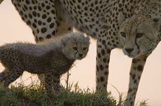 Toto the cheetah cub beside his mother honey the best cheetah mom ever
