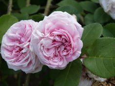 Hybrid Perpetual Rose: Rosa 'Mademoiselle Berthe Lévêque' (France, 1865)