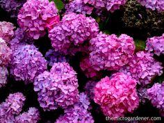 How to Grow Hydrangeas Tip: When in flower, water deeply twice a week.
