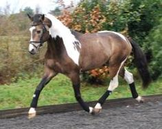 Colored Warmbloods always make me think of my last mare Skyler- tri-color mare by Art Deco *KWPN Grand Prix dressage stallion*... They are just stunning. Color AND movement!