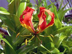 rare bulbs | South African Bulbs, spiloxene, ixia viridiflora, strumaria ...