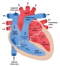 Recognition of the chambers and valves of the heart and the blood vessels connected to it in dissected hearts or in diagrams of heart structure Cardiac Anatomy, Medical Anatomy, Anatomy And Physiology, Human Body Unit, Human Body Systems, Human Heart Diagram, Heart Anatomy, Heart Valves Anatomy, Heart Organ
