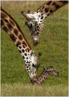*Giraffes - Welcome to the world.  Photo by Lillian King.