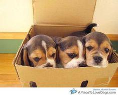 Box o' beagles #beagle