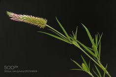 Trifolium angustifolium by lbcurado. @go4fotos