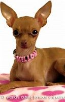 Image result for famous chihuahua