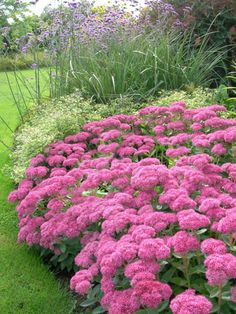 Sedum spectabile in the foreground, loved by bees. Also available in white… All Flowers Name, Flower Names, Fall Flowers, Herbaceous Perennials, Native Plants, Garden Inspiration, Shrubs, Grass, Jo Loves