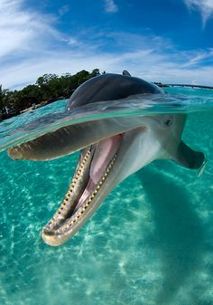 """""""Dolphins are among the most intelligent animals, and their often friendly appearance, an artifact of the """"smile"""" of their mouthline, and seemingly playful attitude have made them very popular in human culture."""""""