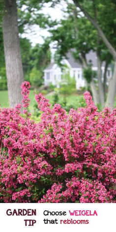 Want pops of color throughout the growing season? Look for shrubs like this Sonic Bloom Weigela. You never have to deadhead it, hummers love it, and deer would rather dine elsewhere. Win $250 in flowers to make your garden pop with the Proven Winners Dream Garden Sweepstakes #ad
