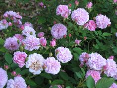 this rose will make you happy it becomes a nice small bush smells great and  blooms all summer with lil cute button flowers..caldwell pink rose | Rosa 'Caldwell Pink' / Rosa 'Caldwell Pink' - OnlinePlantGuide.com ...