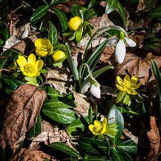 Spring Tease: Winter Aconite & Snowdrop