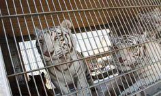 Prohiben Circos con animales en Tamaulipas. Multarán hasta con dos mil quinientos días de salario, a quien exhiba animales en circos.