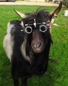 Goats eye exam