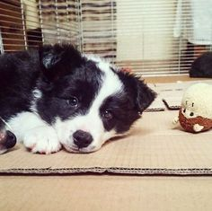 So adorable border collie puppy @yummypets