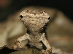 This wee guy makes me laugh! Such a silly looking thing! Newly-discovered chameleon Brookesia desperata, so named because the species is facing such extreme threats.