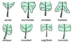 Leaf base shapes