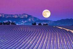 Lavender Fields En Provence.