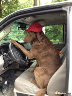 funny dog driving pose pics Fun Dogs Cute Animals  cute animals