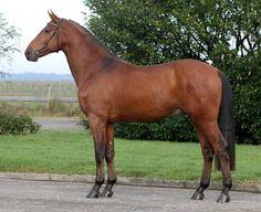 Dutch Warmblood - stallion Charisma