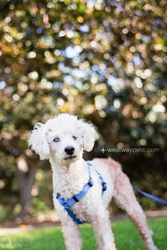Sweet Beau is approx. 11 yrs old and loves to snuggle. He loves to get up on the couch next to you or follow you around the house. He has minimal vision due to cataracts and a disfigured eye from birth but he doesn't that let things get in the way...