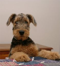 Airedale Puppies From Shawndee
