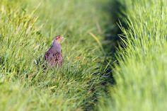 Brytyjscy naukowcy udowodnili, że możliwy jest powrót kuropatw na obszarach, z których ptaki te zniknęły. Projekt odtworzenia stabilnej populacji z wykorzystaniem osobników pochodzących z hodowli wolierowej wciąż trwa, ale jego autorzy twierdzą, że mają gotową receptę dla zdegradowanych przyrodniczo obszarów rolniczych.