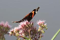 Wunderbare Motive im Spätsommer | Schmetterling wie der Admiral genießen die Blüten im Spätsommer (c) Frank Koebsch (1)