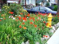 Summer Poppies and daisys popped up after the city dug up half the yard to replace the fire hydrant. Photo courtesy of the homeowner. Dug Up, Starting A Garden, Front Yards, Poppies, Grass, Projects To Try, Fire, Plants, Summer
