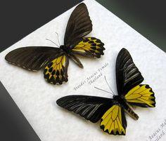 GOLDEN BIRDWING Troides Aeacus Real Butterflies Framed In Shadowbox by ButterfliesArtist on Etsy