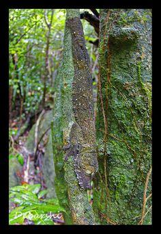 Visiting NorthEast Madagascar, Maroantsetra and Nosy Mangabe to see the Black & White ruffed Lemur , Brookesia,Leaf tailed gecko,Uroplatus