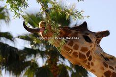 DSC-0104-JPG-Reticulated-giraffe-eating.jpg 750×503 pixels