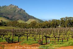 South African Vineyard