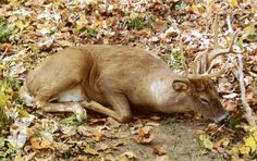 Dream Bucks: A Look at Whitetail Sleep Habits Whitetail Hunting, Moose Hunting, Quail Hunting, Deer Hunting Tips, Hunting Rifles, Turkey Hunting, Bow Hunting, Archery Hunting, Deer Pictures