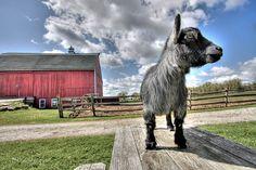 The Goats of Mapleridge Farm - Modern Farmer Modern Farmer, Warm Fuzzies, Farm Animals, Goats, Horses, Barns, Kid, Country Barns, Plushies