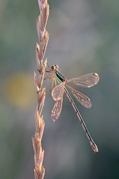 Found on deviantart.com Such a delicate Dragon Fly, resting on a flower stem. LM