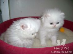 2 Persian Kittens Snow White With Blue Eyes Breed Cat Kitten lives in family. They are just one month old.