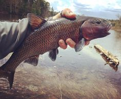 Thats one hell of a chub. #flyfish #maine.