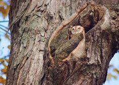 Screech Owl in Burlington, Ontario.