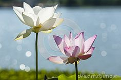 Lotus Two Stock Photos, Images, & Pictures – (1,506 Images)
