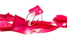 rose petals on white background Rose Petals, Royalty Free Images, Red, Pink Petals, Copyright Free Images
