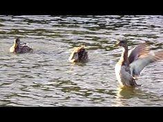 Frolicking Ducks