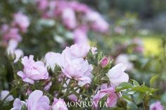 Monrovia's Flower Carpet® Appleblossom Groundcover Rose details and information. Learn more about Monrovia plants and best practices for best possible plant performance.