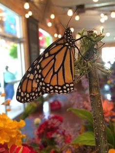 1000 Images About Butterfly House On Pinterest Monarch Butterfly The Butterfly And Caterpillar