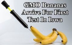 gmo banana bluebg 263x164 GMO Bananas to Boost Vitamin A Arrive for First Test in Iowa