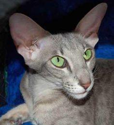 An Oriental Shorthair with brilliant green eyes!