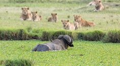 Revenge has never tasted so delicious as when a pride of lions take down a buffalo after being chased off their land.