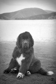 Gorgeous Newfoundland dog puppy #NewfoundlandDog