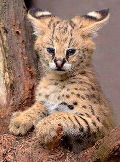 Serval Family Love (by Mike Wilson) Cute Cats And Kittens, Cool Cats, Kittens Cutest, Big Cats, Cute Baby Animals, Animals And Pets, Funny Animals, Beautiful Cats, Animals Beautiful