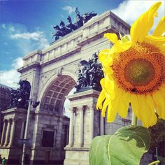 Sunflower in Brooklyn (Grand Army Plaza)