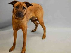 SAFE - 08/18/15 - SOPHIE - #A1047868 - Urgent Manhattan - FEMALE BR BRINDLE BELG MALINOIS MIX, 2 Yrs - STRAY - NO HOLD Intake Date 08/14/15 Due Out 08/17/15